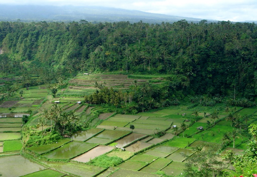 The rice fields around Ubud